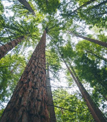 Tall trees looking up